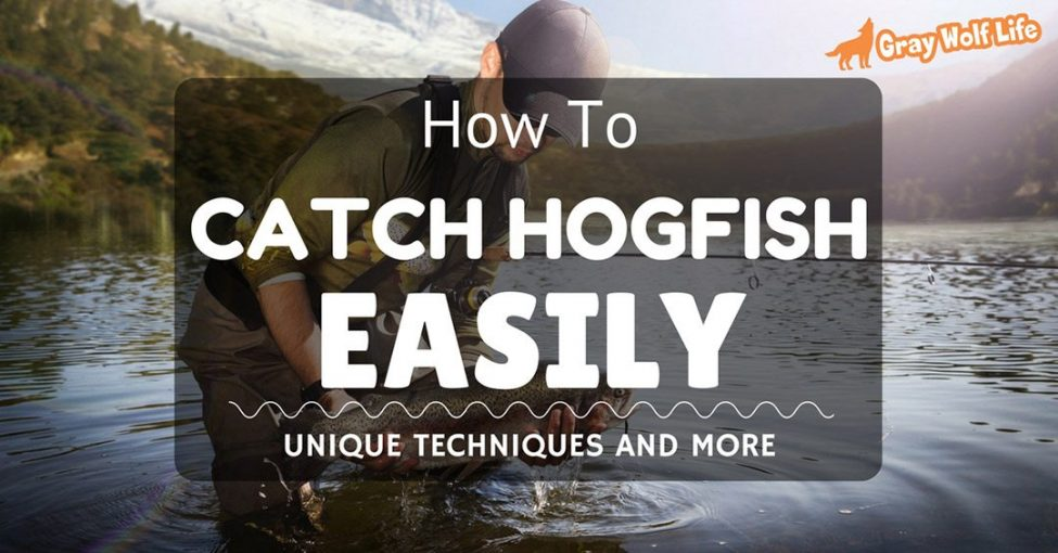 how to catch hogfish