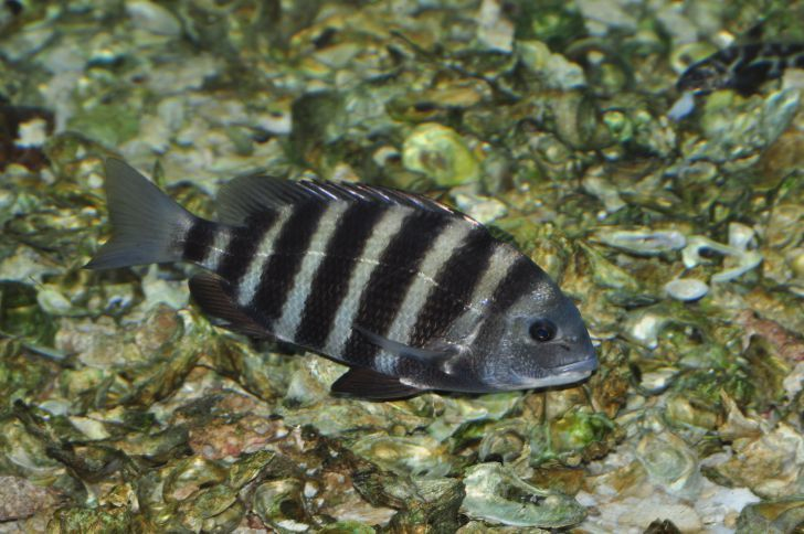 Sheepshead fish