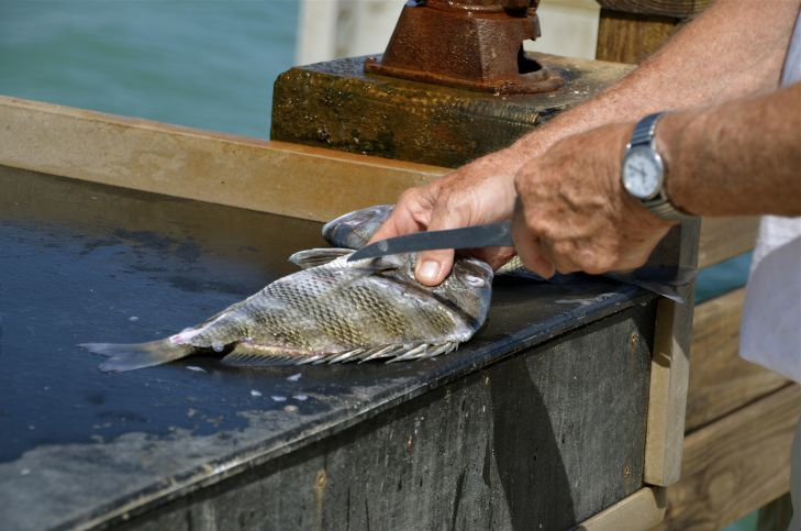 Difficulties in Filleting Sheepshead